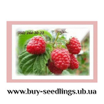 Саженцы малины,  смородины,  ежевики,  клюквы,  голубики продажа оптом и р