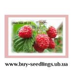 Саджанці малини,  смородини,  ожини,  журавлини,  лохини продаж оптом