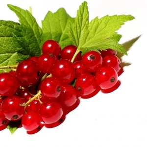 Куплю ягоди смородини і порічки,  закупка смородини гуртом