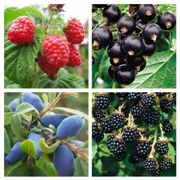 Саженцы малины,  смородины,  ежевики,  клюквы,  голубики продажа оптом и р 2